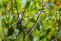 An endemic female Bee Hummingbird (Mellisuga helenae) perched, showing the white tips on her retricies. Cuba.