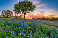 Roadside Bluebonnets at Sunset - Another great sunset with these roadside bluebonnets in the Texas hill country outside of Llano Texas.  Every spring we start our wildflower search in this area and some years theres are very little some years the are better lucky for this year is a better year.  We were looking for a place to catch a photo and this tree pops up with the sunset just starting to come through the horizon with some rays and these lovely clouds picking up the colors   in the sky for a nice backdrop.  The clouds just seem to shoot rays from the tree for a nice sunset capture.