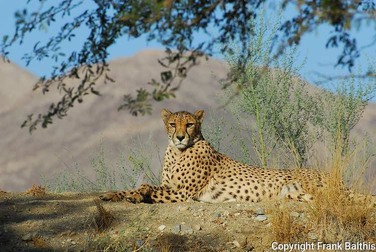 Cheetah at the Living Desert Reserve