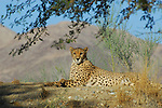 Cheetah at the Living Desert Reserve