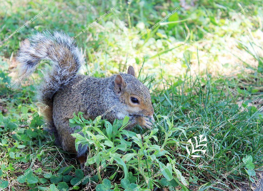 Stock photo: Cute squirrel eating something by holding in both hands in grass.