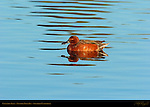 Cinnamon Teal, Male, Drake, Newport Back Bay, Southern California