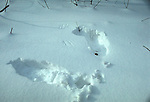 Snow roost of Ruffed grouse, Bonasa umbellus, game bird, gallinaceous<br />