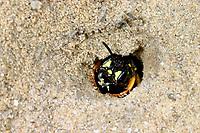 Sandknotenwespe, Sand-Knotenwespe, am Nest, Nesteingang, Cerceris arenaria, Sand Tailed Digger Wasp, Crabronidae