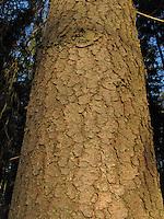 Europäische Fichte, Gewöhnliche Fichte, Rotfichte, Rinde, Borke, Stamm, Picea abies, Christmas Tree, Common Spruce, Epicéa
