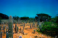 Cacti growing on the island of Bonaire, Netherlands Antillies.Caribbean