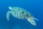 Great Barrier Reef, Australia; a large green sea turtle swimming over the coral reef, accompanied by several juvenile golden trevally