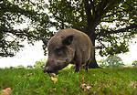 WEATHER INPUT - Pannage starts in the New Forest this week.<br /> <br /> Pictured: A pig grazing in Bramshaw, New Forest as part of the yearly pannage tradition <br /> <br /> The pannage season which started Monday takes place in early autumn and lasts for 60 days. It is where domesticated pigs are released in to the forest, so that they can eat fallen acorns, beechmast, chestnuts and the like, as these posinous to the New Forest Ponies and cattle.<br /> <br /> New Forest is one of the few places in the UK where pannage is still practised, with only 600 pigs and piglets being released each year.  The pigs have nose rings to stop them from digging and damaging the forest floor.<br /> <br /> © Ewan Galvin/Solent News & Photo Agency<br /> UK +44 (0) 2380 458800