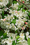 3549-CB Red Jade Flowering Crabapple Malus `Red Jade', flowers, at Lyndale Garden Park, Minnesota