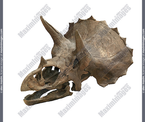 Triceratops Horridus dinosaur skull isolated on white background with clipping path