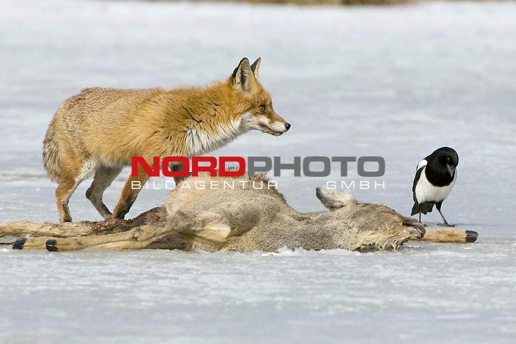 Fuchs (Vulpes vulpes) und Elster an einem toten Reh, Luderplatz, auf dem Eis eines Sees, Rotfuchs, Mueritz Nationalpark, Beute, Nahrungserwerb<br /> <br /> Foto: nordphoto *** Local Caption *** Original Naturfoto - hŲhere AuflŲsung auf Anfrage - Dig. Foto