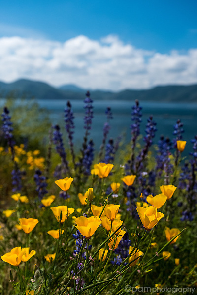California poppies in the springtime with lake in the background