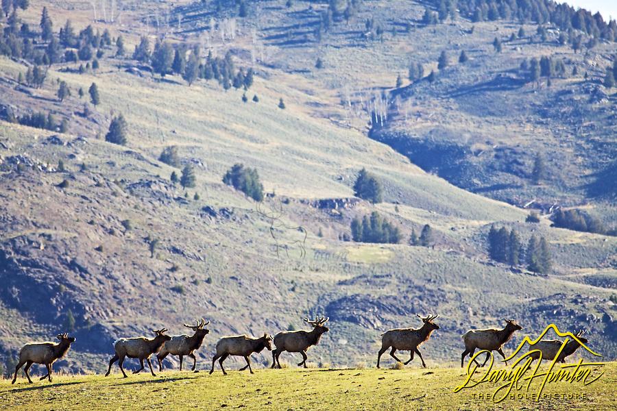 Bull Elk herd moving across a ridge in the Lamar Valley.