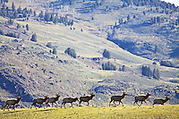 Bull Elk herd moving across a ridge in the Lamar Valley.