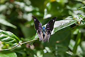 Fazenda Bauplatz, Brazil. Purple butterfly.
