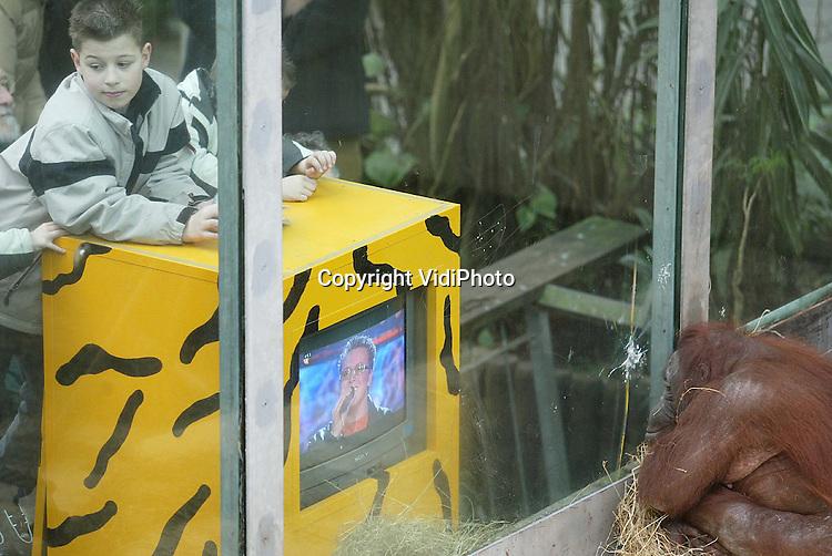 Foto: VidiPhoto..RHENEN - De orang oetans in Ouwehands Dierenpark kijken geïnteresseerd naar een videoband van het tv-programma Idols. De dieren leven enorm mee met de kandidaten en hebben hun eigen favoriet voor de finale van zaterdagavond al gekozen. Ouwehands laat als experiment regelmatig tv-beelden zien aan de orangs om ze wat af te leiden. Met name het programma Idols is razend populair. Alleen tijdens de reclame zoeken de dieren ander vertier.