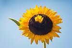 Double headed sunflower.