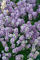 Lavandula angustifolia 'Cedar Blue'  English lavender