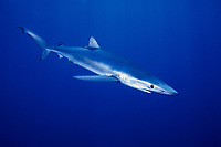 Free swimming blue shark, Prionace glauca, San Diego, California , Pacific Ocean