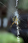 The banana spider spins an intricate web.