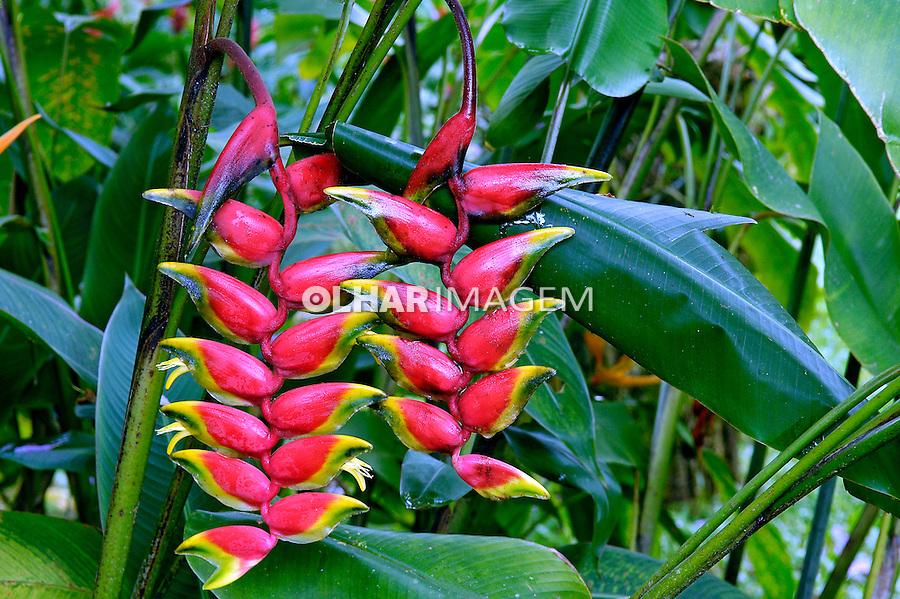 Flor Helicônia ( Heliconia rostrata). SP. Foto de Manuel Lourenço.