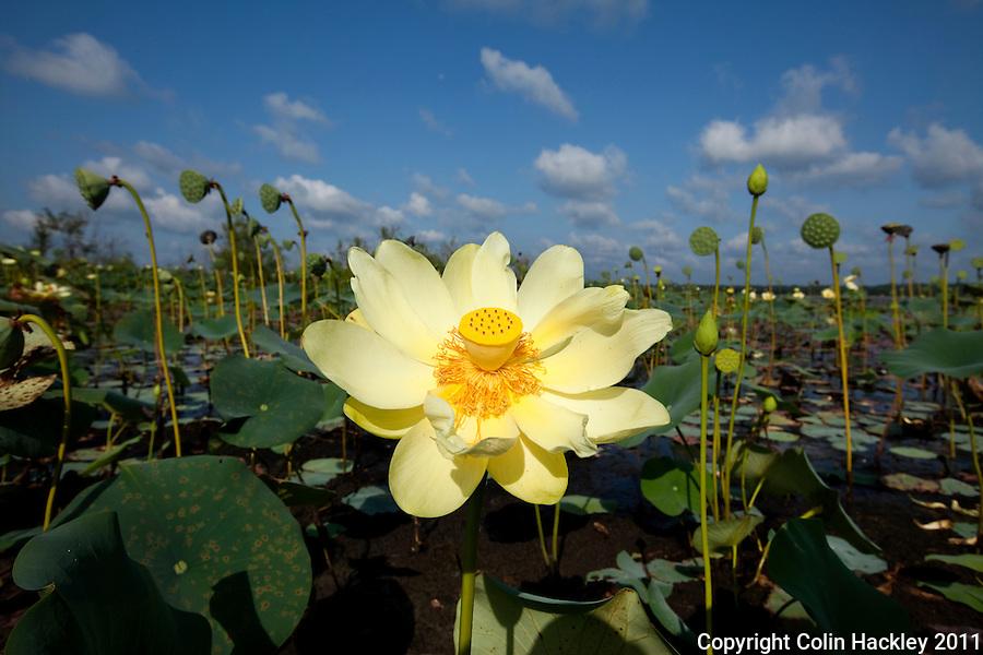MILLER LANDING ROAD: American Lotus plants bloom on the eastern edge of Lake Jackson..COLIN HACKLEY PHOTO
