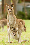 Eastern Grey Kangaroo (Macropus giganteus) mother with joey peering from pouch, Jervis Bay, New South Wales, Australia