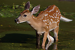 White-tailed fawn (Odocoileus virginianus) standing in algae-filled pond.  Summer 2005. Winter, WI