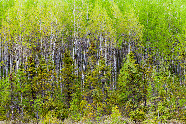 Spring green color in a birch forest in a bog in the Northern Highland American Legion State Forest near Minocqua, WI