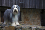 Bearded Collie<br /> <br /> <br /> <br /> Shopping cart has 3 Tabs:<br /> <br /> 1) Rights-Managed downloads for Commercial Use<br /> <br /> 2) Print sizes from wallet to 20x30<br /> <br /> 3) Merchandise items like T-shirts and refrigerator magnets