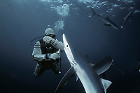 Diver feeding Blue Shark (Prionace glauca), California (USA) - Pacific Ocean
