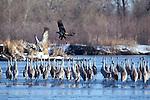 Sandhill Crane being chased by immature bald eagle Platte River, Nebraska