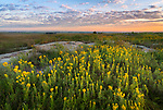 Blue Mounds State Park; Minnesota:<br /> Goldenrod (solidago) blooming in a native tallgrass prairie at dawn
