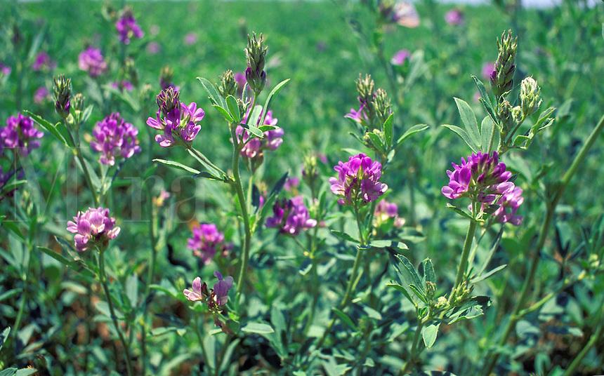 alfalfa flowering California