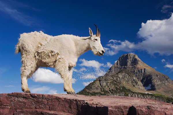Mountain Goat,Oreamnos americanus, adult shedding winter coat Mount Reynolds, Glacier National Park, Montana, USA