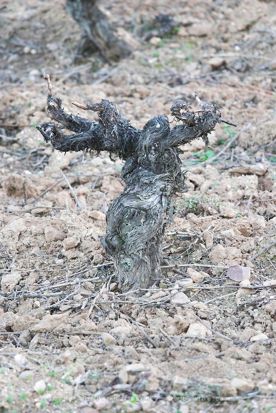 old vine gobelet trained sandy gravelly soil Bodega Agribergidum, DO Bierzo, Pieros-Cacabelos spain castile and leon