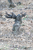 old vine gobelet trained sandy gravelly soil Bodega Agribergidum, DO Bierzo, Pieros-Cacabelos spain castile and leon
