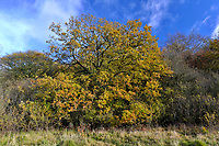 Mature autumn Oak on woodland boundary, Stoke Wood, Oxfordshire