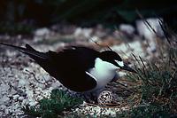 bird, Sooty Tern, Sterna fuscata, with egg on nest, Tern Island, French Frigate Shoals, Papahanaumokuakea Marine National Monument, Northwestern Hawaiian Islands, Hawaii, USA