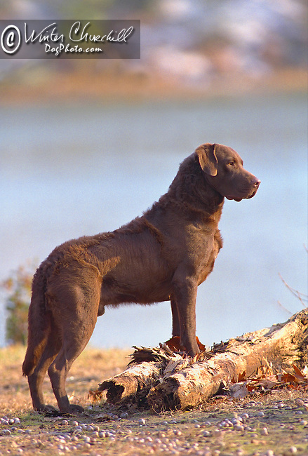 King of all he surveys, this Chessapeake Bay Retriever is actually looking out over the Chessapeake Bay Shopping cart has 3 Tabs:<br />