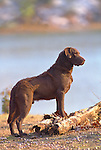 Chessapeake Bay Retriever