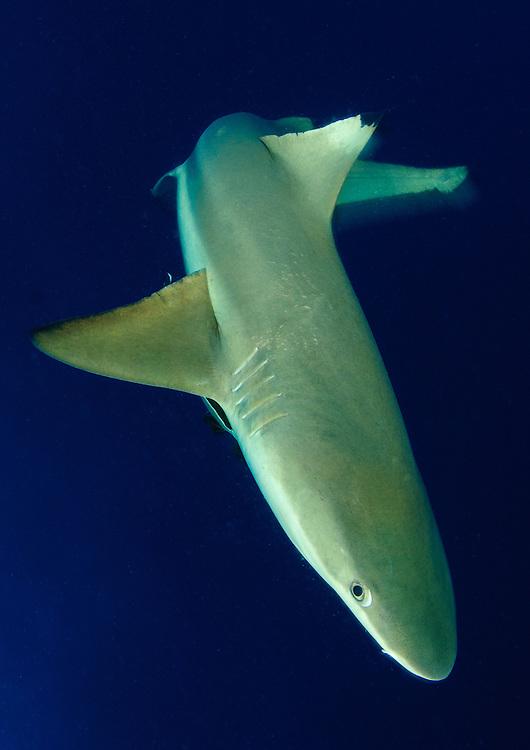 blacktip reef shark: Carcharhinus melanopterus, in movement, Solomon Islands