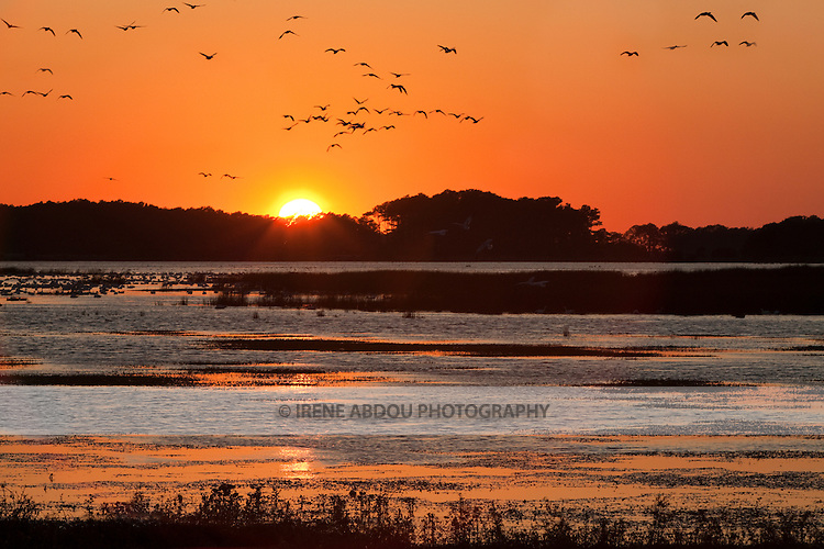 Snow geese fly the skies over the Chincoteague National Wildlife Refuge on Assateague Island, Virginia.