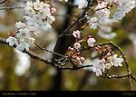 Sakura Blossoms Ueno Park Tokyo Japan