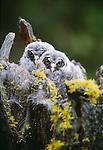 Juvenile great grey owls, Oregon