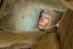 A 4 week old infant Toque Macaque sleeps, still suckling its mothers nipple, whilst wrapped in the legs of other troop members. Polonnaruwa, Sri Lanka. IUCN Red List Classification: Endangered
