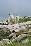 A pair of mountain goat kids on a rock in the alpine region of Mt Evans, Arapaho National Forest, Colorado.