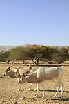 Israel, Arava, Addax at the Hai Bar, the National Biblical Wildlife Reserve