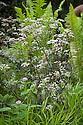 Purple cow parsley (Anthriscus sylvestris 'Ravenswing'), Arthritis Research UK Garden, designed by Chris Beardshaw, RHS Chelsea Flower Show 2013.