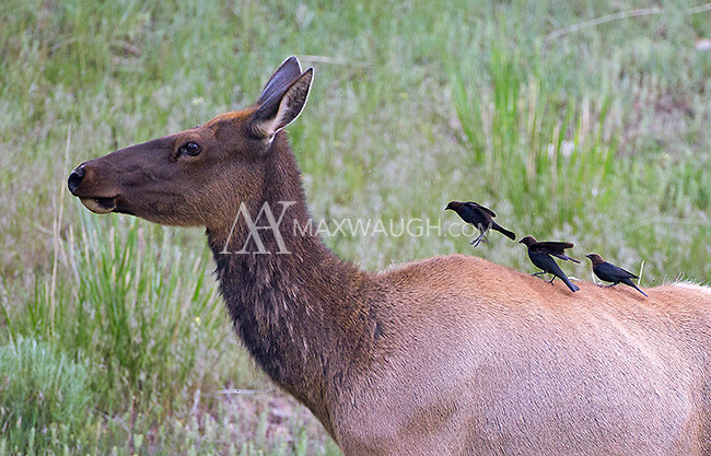 Cowbirds hop on the back of a cow elk.